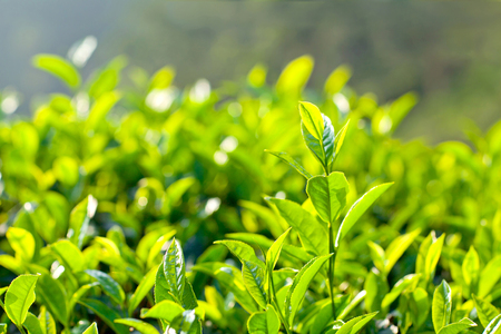 Green tea bud and fresh leaves close up on a tea plantations in Munnar, Kerala, South India. Munnar is situated at around 1,600 metres above sea level in the Western Ghats range of mountains. Stock Photo