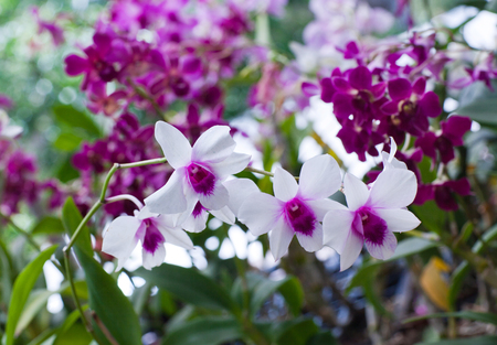 horticultural: Beautiful hybrid dendrobium orchid flower branch on the blurred tropical forest background Stock Photo
