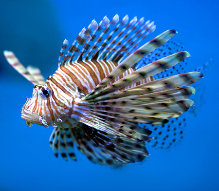 zebrafish: Beautiful lion fish (or turkey fish) hovering in mid water