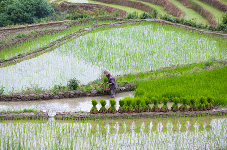An unidentified man working hard in rice fields in Yuanyang county, Yunnan, China. Yuanyang county lies at an altitude ranging from 140 along the Red River up to nearly 3000 metres above sea level in the Ailao mountains. Stock Photo