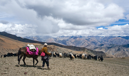 drover: An unidentified nomad and herd of yaks crossing to the pass in Dolpo, Nepal Himalaya