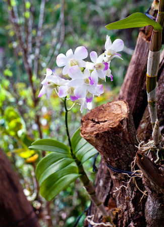 Beautiful hybrid dendrobium orchid flower branch on the blurred tropical forest background 版權商用圖片