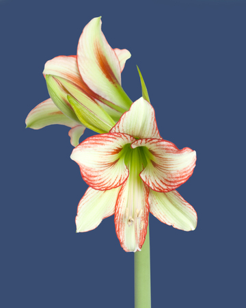 Amaryllis Hippeastrum sonatini Viridi Rascal, or Ratatouille on blue background Stock Photo