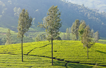 Tea plantation in Munnar, Kerala, South India. It is situated at around 1,600 meters above sea level in the Western Ghats range of mountains.
