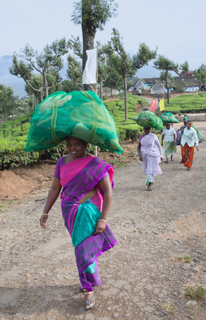 MUNNAR, INDIA - NOVEMBER 14, 2016: Female tea pickers carrying bags with tea leaves at plantation in Munnar, Kerala, South India.  Only uppermost leaves are collected and workers collect daily up to 30 kilos of leaves.