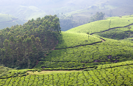 Tea plantations in Kerala, South India. It is situated at around 1,600 meters above sea level in the Western Ghats mountains