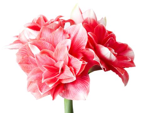 Amaryllis Hippeastrum large flowering Double Dream close up