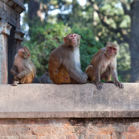 KATHMANDU, NEPAL: Young Nepalese man teasing monkeys at Pashupatinath Temple Stock Photo