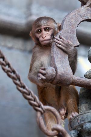 Rhesus macaque monkey at Swayambhunath temple, Kathmandu valley, Nepal