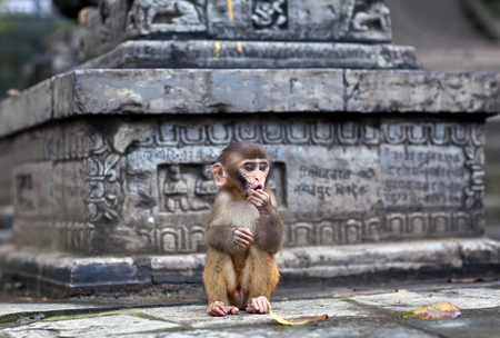 Young rhesus macaque monkey at Swayambhunath temple, Kathmandu valley, Nepal Stock Photo