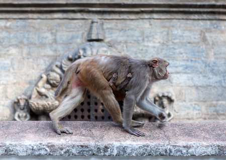 Rhesus macaque monkey at Swayambhunath temple, Kathmandu valley, Nepal