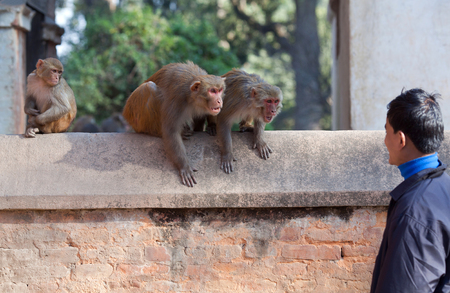 KATHMANDU, NEPAL - JANUARY 9, 2010: Wild macaque monkeys attack a young man in a park near the Pashupatinath temple