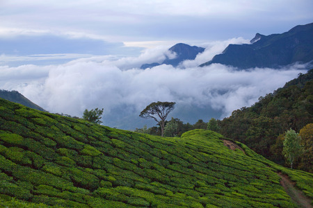 Tea plantations in Munnar, Kerala, South India.