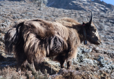 Dzo yak in the Nepal Himalaya. A dzo is a hybrid between the yak and domestic cattle