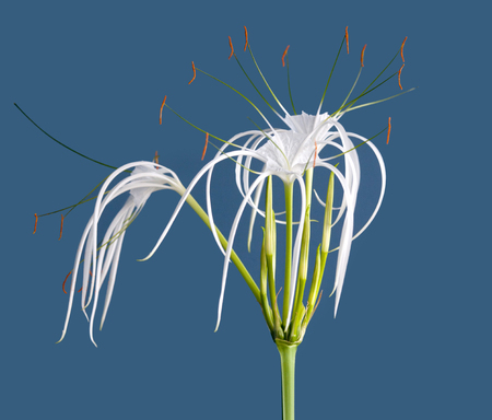 Hymenicallis Speciosa, Spider lily flowers close up on blue background