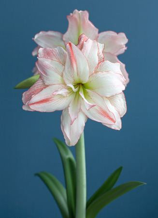 Hippeastrum Amaryllis Aphrodite double flowering close up on blue background
