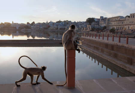 Gray langurs or Hanuman langurs on the Varaha ghat in Pushkar, Rajasthan, India. It is a pilgrimage site for Hindus and Sikhs.