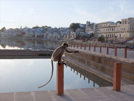 Gray langurs or Hanuman langurs on the Varaha ghat in Pushkar, India. It is a pilgrimage site for Hindus and Sikhs in Rajasthan state