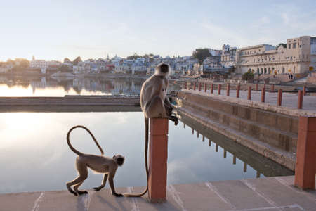 Gray langurs on the ghat in Pushkar, India. It is a pilgrimage site for Hindus and Sikhs in Rajasthan state
