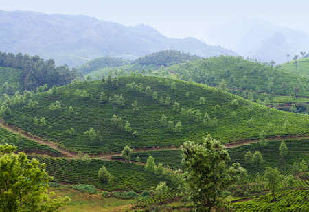 Tea plantations in Munnar, Western Ghats range of mountains, Kerala state, South India.