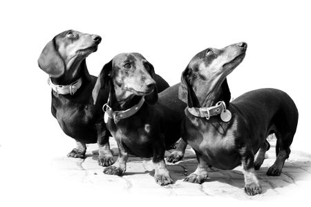 Black-and-white photo. Devoted dogs. On white background