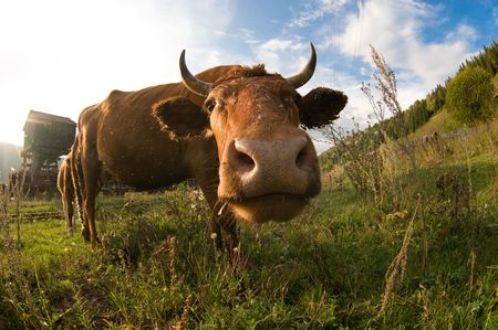A close up of a cow's head. Shallow DOF with focus on the eyes. Stockfoto