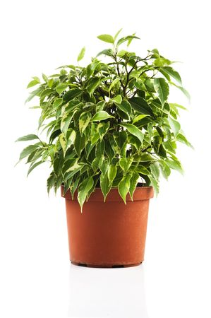 Green ficus tree in a brown pot. Isolated on white Stock Photo