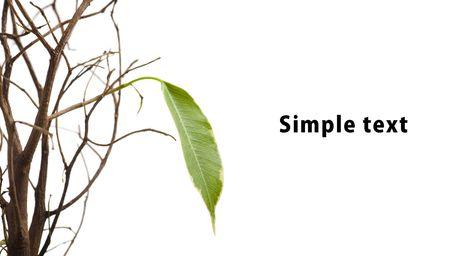 arboles secos: Origen de una nueva vida. Una solitaria hoja verde aislada en blanco