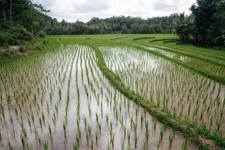 Beautiful rice fields overflowed by water, brown from the soil, with small pathways for workers to walk through. They are extended all the way up to the forrest near horison.