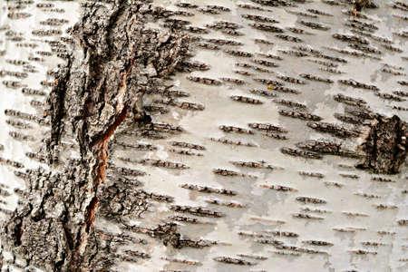 Birch bark background, Tree trunk.