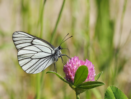 A butterfly is drinking nectar on a clover flower.