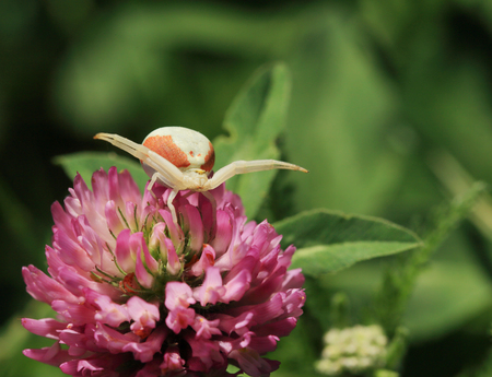 Flower spider awaits the victim on a clover flower.