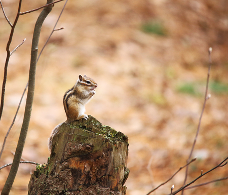 ardilla: The chipmunk sits on the stump and lifts its paws.